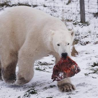 Walker, the UK's only publicly viewable polar bear, pictured here with some food, has received a Valentine card