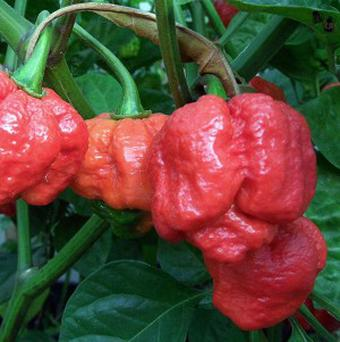 Researchers say the Trinidad Moruga Scorpion is the hottest pepper in the world (AP Photo/Courtesy of Jim Duffy, New Mexico State University)