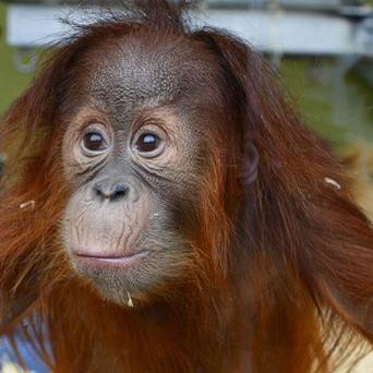 A team of scientists have asked free runners to ape orang-utans in a bid to understand how the primates move through trees