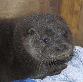 Roy, one of two rescued otter cubs being cared for by the Scottish SPCA in Fife