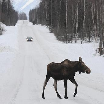 A moose crosses a road near Anchorage, Alaska, amid record spring snowfall (AP)