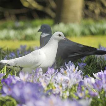 Homing pigeons do not use their beaks to help then detect magnetic fields, scientists have concluded