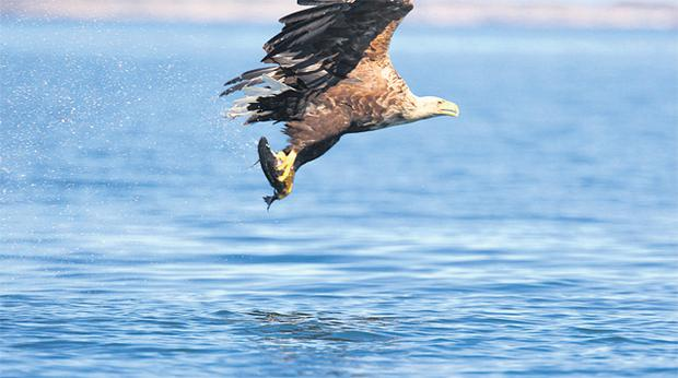 An adult White-tailed Eagle is seen catching a fish on Lough Derg, Co Clare