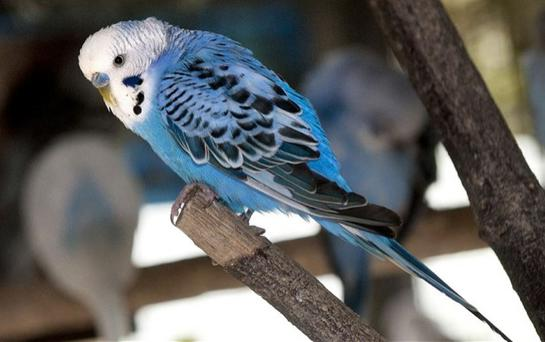 A lost budgie was taken home after it recited its entire address in full to a police office