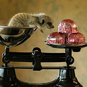 Tunnock, a three-week-old meerkat, is weighed using his namesake teacake biscuits to balance the scales