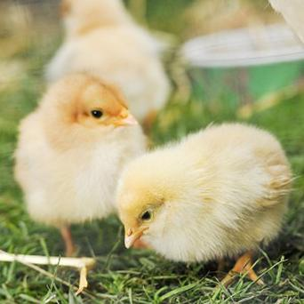 Salmonella outbreak linked to British chicks. Stock photo