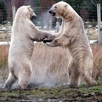 Polar bears Arktos and Walker meeting for the first time in their enclosure at the Highland Wildlife Park in Kincraig, Kingussie (Jan Morse/PA)