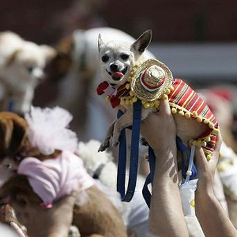 People raise their costumed chihuahuas during the inaugural Cinco de Mayo Chihuahua parade in Kansas City (AP)
