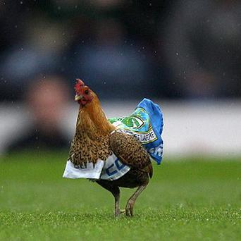 An chicken wearing a Blackburn Rovers cape interferes with the game