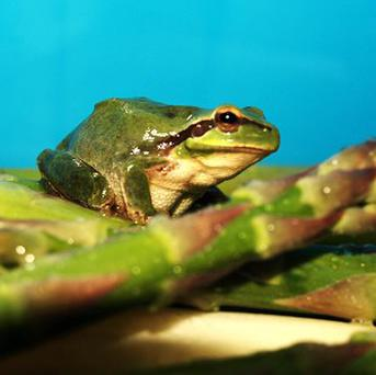 Green tree frog Maurice, who was found nestling in some asparagus tips bought by a couple from a Portsmouth supermarket