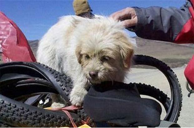The loyal stray, who has been named Xiao Sa, or Little Sa, followed the cyclists for 20 days, and has now become a sensation in China
