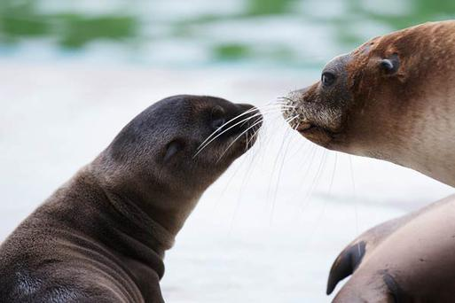 Dublin Zoo is celebrating the birth of a male Californian sea lion pup born who was born early last Tuesday morning (22nd May). The pup, born to mum Seanna, weighs approximately 3kgs. All photos: Patrick Bolger
