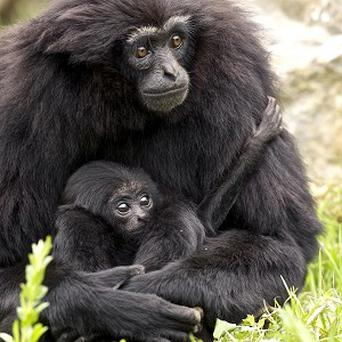 A baby gibbon, born in Cork's Fota Wildlife Park, which has been christened Shay Gibbon following a public vote