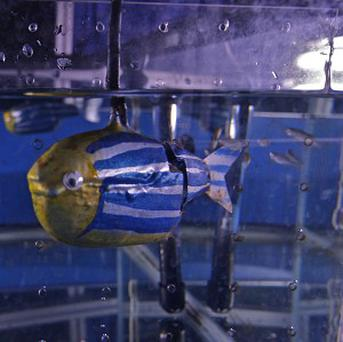 A smiley-faced robotic zebrafish attracted attention from real zebrafish when placed in a tank (Polytechnic Institute of New York/PA)