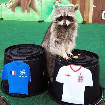 Rocky the raccoon, who has predicted a Three Lions win over France at Euro 2012