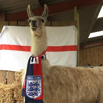 Ashdown Llama Park resident Nicholas was wrong about England beating France in its Euro 2012 opening match