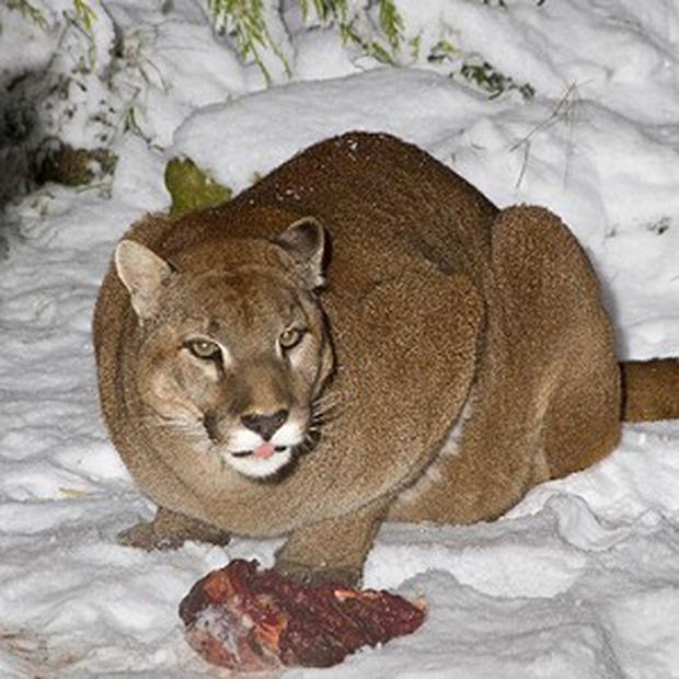 US mountain lions are moving far outside their heartland territory in the Midwest, say conservationists