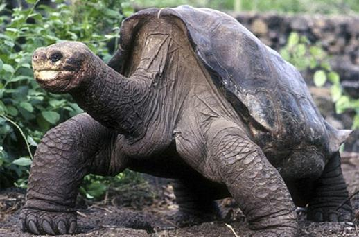 Lonesome George, the last remaining tortoise of his kind has died. Photo: Reuters