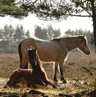 A rare fungi has been discovered in wild pony dung in Thetford Forest