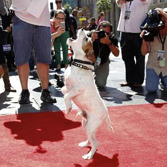 Uggie became the first dog to cement his paws outside of Grauman's Chinese Theatre