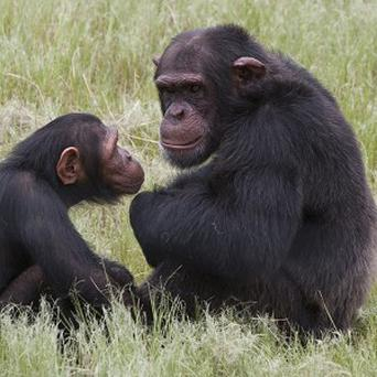 Chimpanzees in an enclosure at the Chimp Eden rehabilitation centre where a man has been seriously injured in an attack (AP)