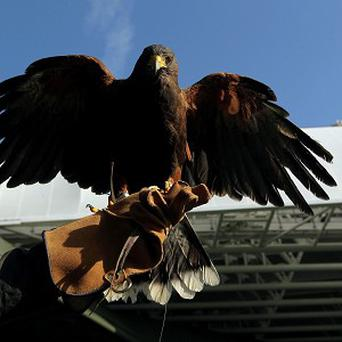 Rufus, the Harris Hawk which patrols Wimbledon to deter pigeons
