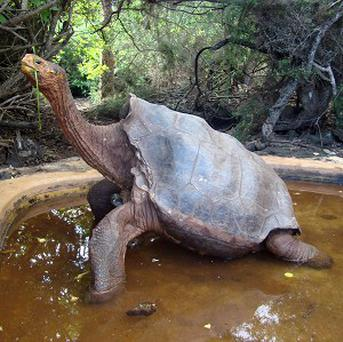 Tortoise Diego has sired hundreds of offspring (AP/Galapagos National Park)