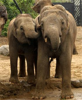 Dublin Zoo's new 17-year-old Asian bull elephant Upali (right) is welcomed by 5-year-old calf Asha to the zoo today