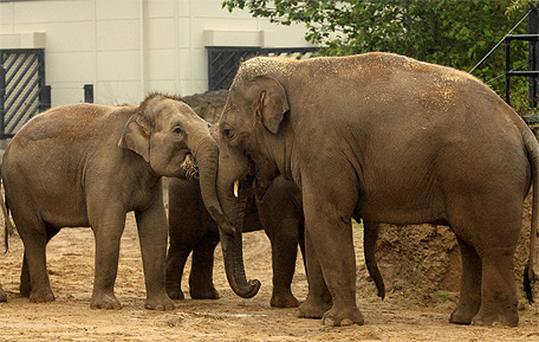 Dublin Zoo's new 17-year-old Asian bull elephant Upali, right, among the zoo's other elephants
