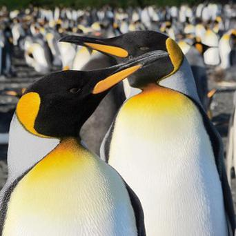 King penguins from the Crozet Archipelago, as scientists found evidence of stressed penguins deserting colonies