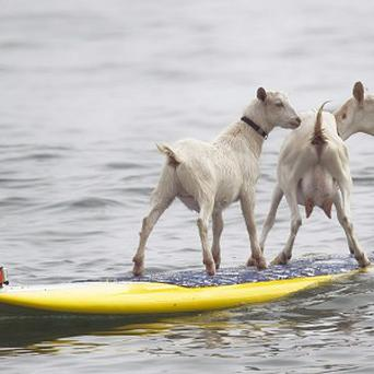 Pismo, left, and Goatee hit the surf at San Onofre State Beach, California. (AP Photo/The Orange County Register, Rod Veal)