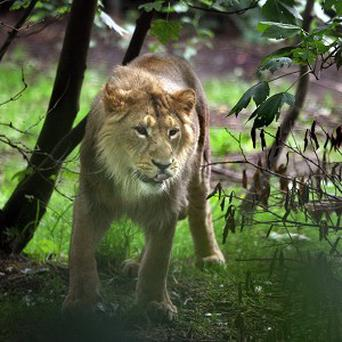 Two-year-old Jayendra looks around his new enclosure at Edinburgh Zoo after recently arriving from Bristol Zoo