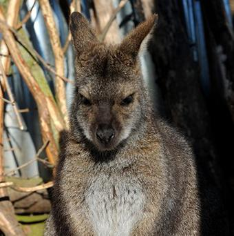 A wallaby similar to the one pictured has been causing consternation on the roads