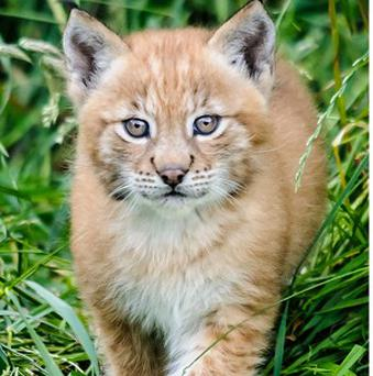 Female European Lynx kittens born in June venture outside their enclosure for the first time