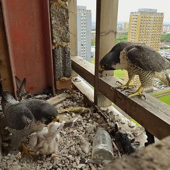 Peregrine falcons in their unusual nesting site in one of Glasgow's empty Red Road flats (Steven McGrath/James Leonard /RSPB)