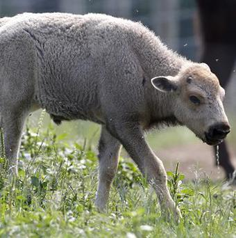 A white bison calf walks in a field at the Mohawk Bison farm in Goshen, Connecticut (AP)