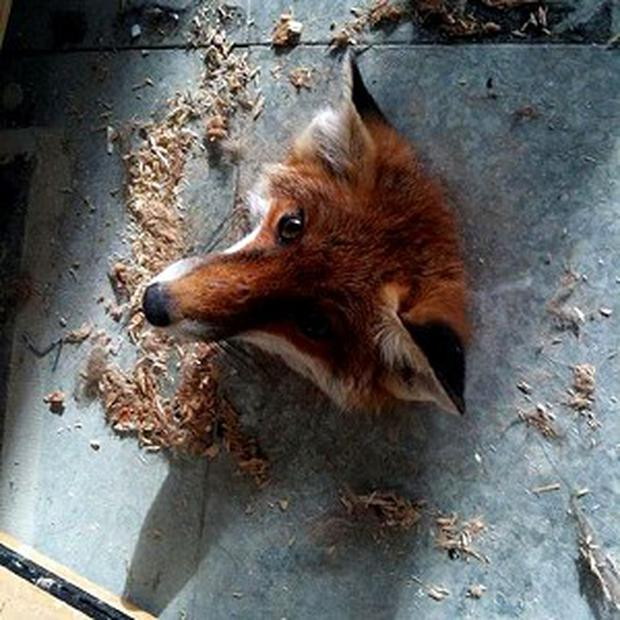 A fox had to be rescued after getting stuck in a hole in the floor at the University of Hertfordshire (RSPCA/PA)