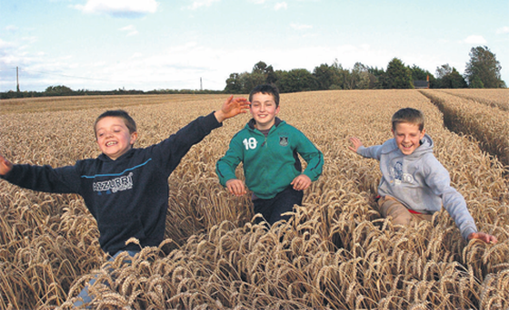Brothers Peter, Mark and Paddy McGuinness from Richardstown, Dunleer, run through their father's field of winter wheat at Togher, Co Louth yesterday before the combine harvester moves in.