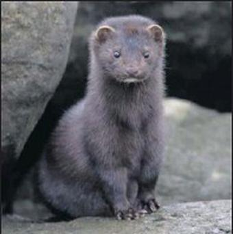 An American Mink is about the size of a small cat but has a long body, a small head, very short legs and a long bushy tail.