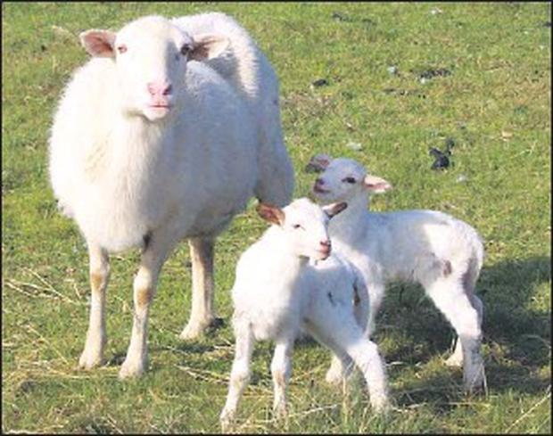 Only 13 ewes are left to lamb on the farm of John Large