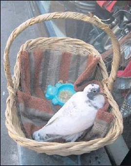 'Lucky' the pigeon in the basket she was abandoned in outside the Enable Ireland shop on Shop Street, Drogheda.