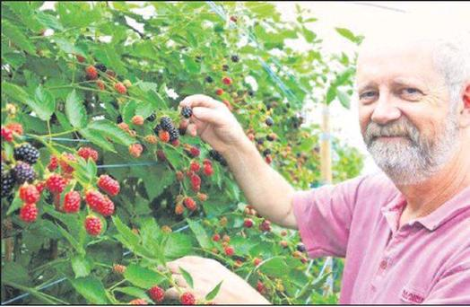 Donal Counihan inspecting our new season Irish blackberries.