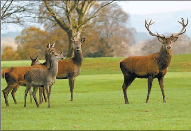 A Red deer stag and his family take an early-morning stroll around the Killeen golf course in Killarney where the Irish Open will be held next July. Credit: Photo by Michelle Cooper Galvin