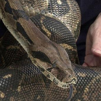 A man admitted animal smuggling after his bag of 95 boa constrictor snakes burst at a Malaysian airport
