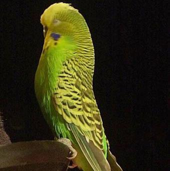A top budgie breeder fears a rival may have killed his prize bird