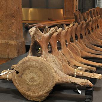 A whale skeleton went on display at the Museum of London Docklands