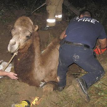 Moses the camel was unhurt by his ordeal (AP)