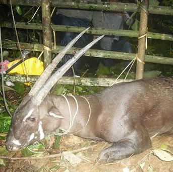 The saola is dubbed the 'Asian unicorn'