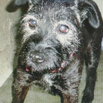 Poppy, a black Patterdale terrier cross, who was micro-chipped in Bristol