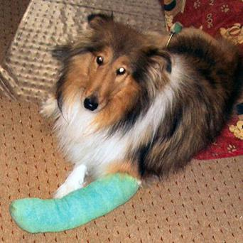 Lassie shortly after she survived falling 200 feet off a cliff in Devon
